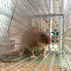 Trapped rodent